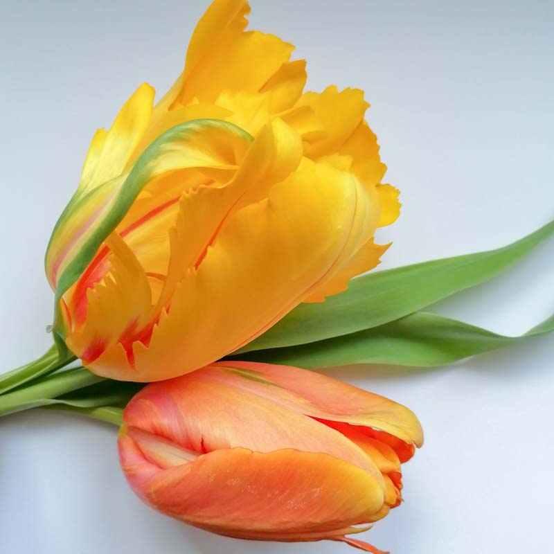 De zussen houden van tulpen - blog zussen in het groen