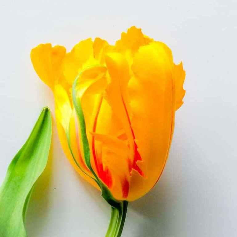 Franse tulp in geel met rode kleur- groot bloemig door Zusseninhetgroen.nl