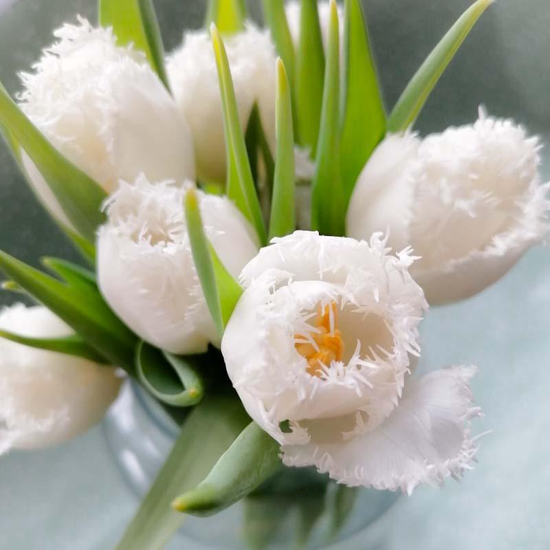 witte tulpen met grafranjerde rand - door zussen in het groen