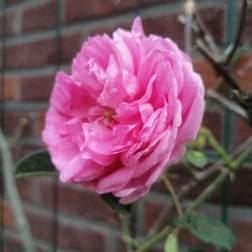Hegge-roos ©zusseninhetgroen